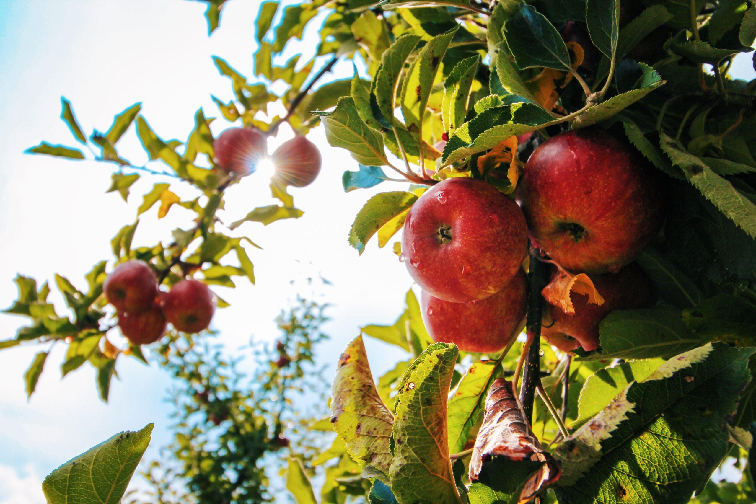 Autumn Apple Orchard